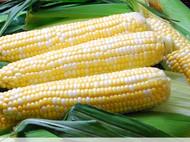 Solstice Sweet  Bi Color Corn
