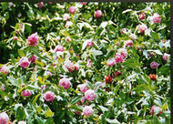 Mammoth  Red Clover Raw