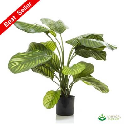 Green Calathea 65cm