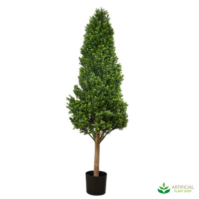 Boxwood Tower Tree 1.75m