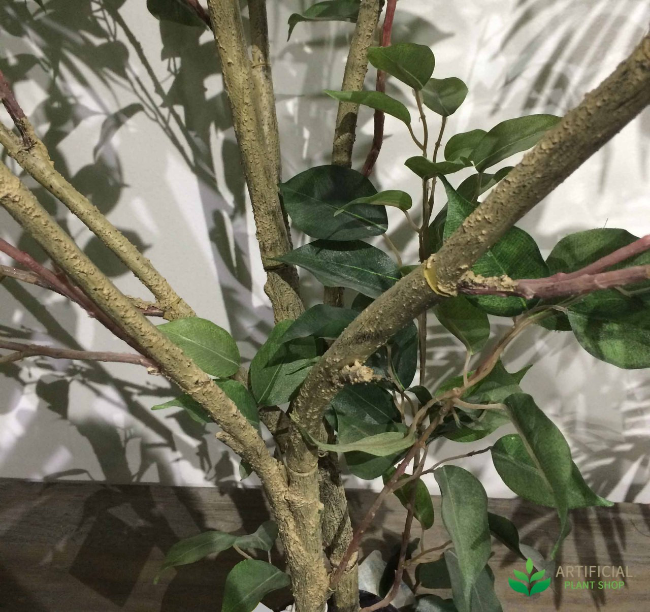 Ficus tree branches