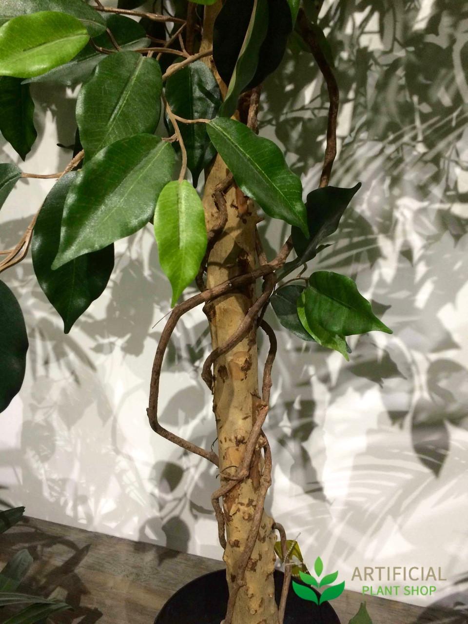 Ficus Vine Tree Trunk