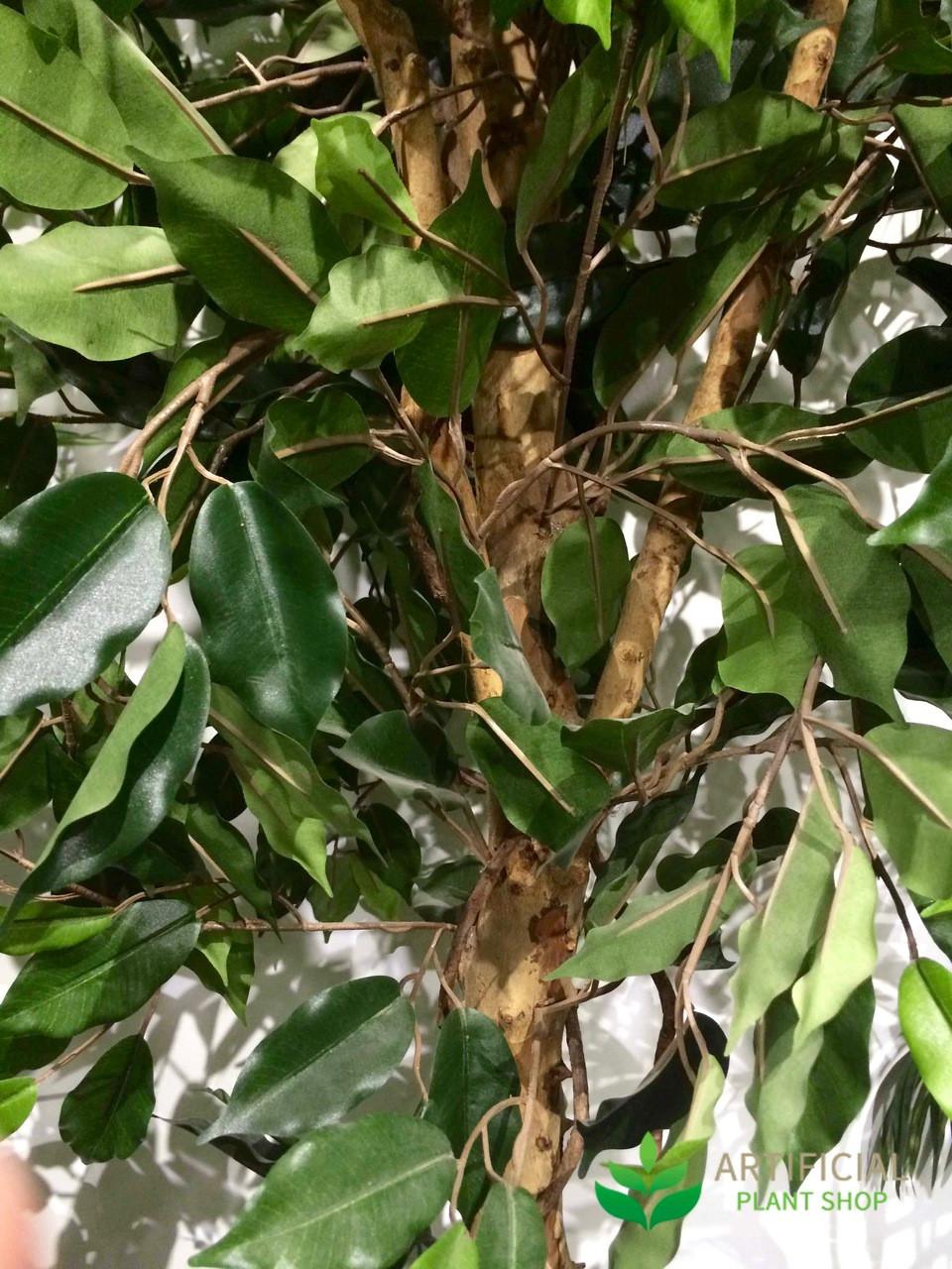 Ficus Vine Tree Leaves