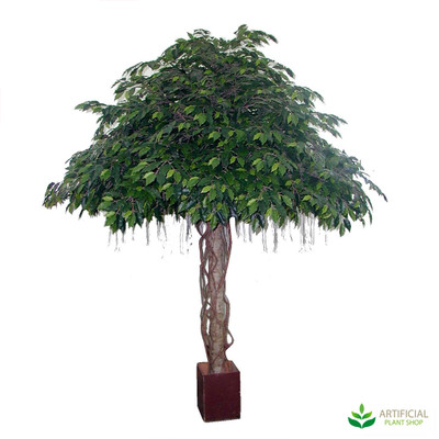 Ficus Tree Giant Umbrella 3m