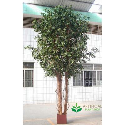 Ficus Tree Giant Premium 3m