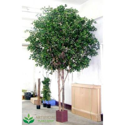 Ficus Tree Giant 3m