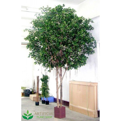Ficus Tree Giant 3m