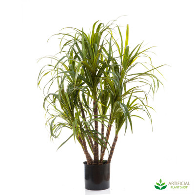 Dracena Marginata Tree 1.3m