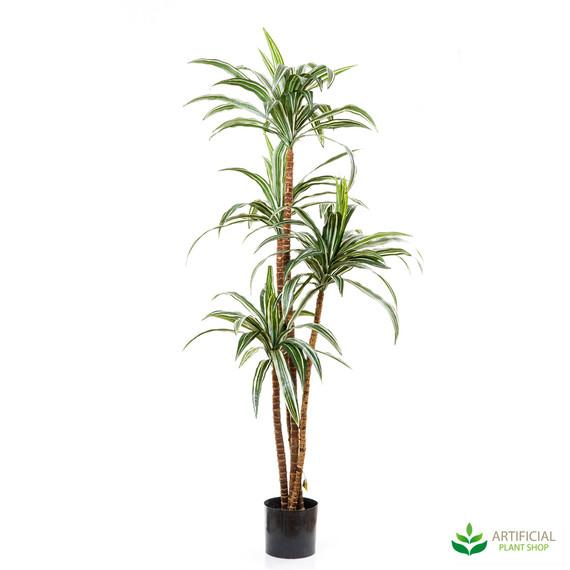 Dracaena Tree Variegated 1.6m