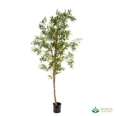 Olive Tree 2.4m