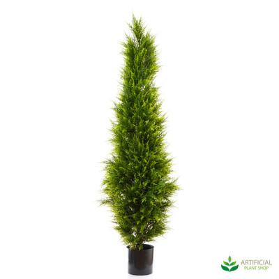 Cypress Pine Tree 1.8m