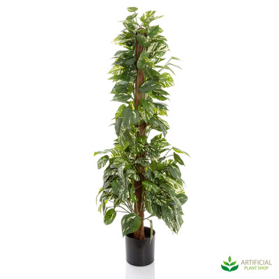 Pothos Plant in Pot 1.2m