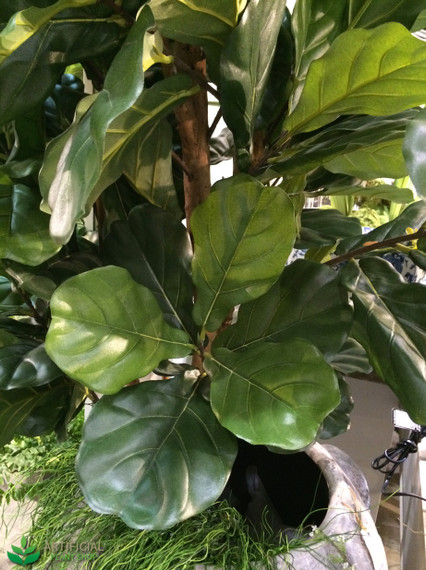 Fiddle Leaf Fig Tree Leaves