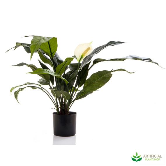 Spathiphyllum Lily White 53cm