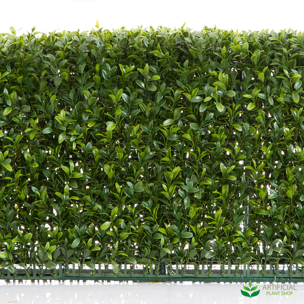 Boxwood leaves