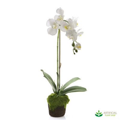 Orchid White 63cm with Moss Pot