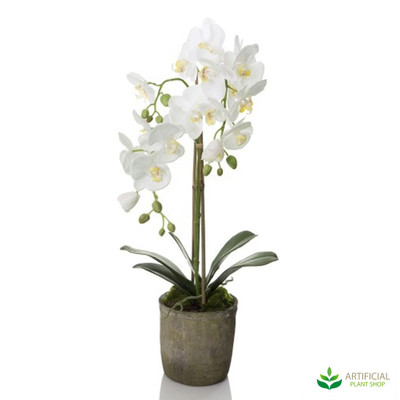 White Orchid in Terracotta Pot 70cm
