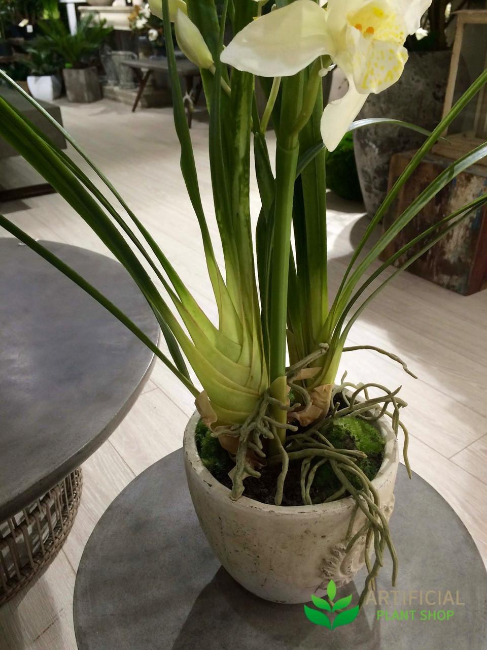 Cymbidium orchid Potted