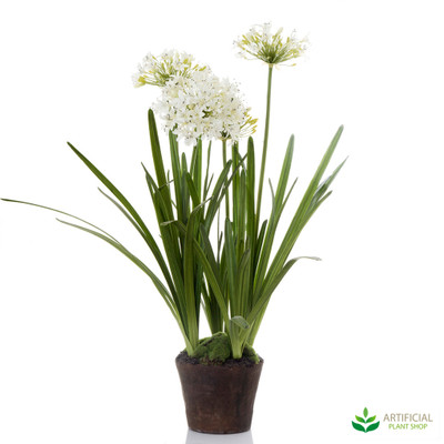 Agapanthas White in Paper Pot 1.1m