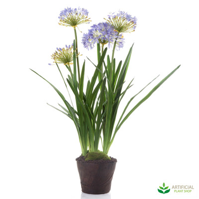 Agapanthus Purple in Paper Pot 1.1m