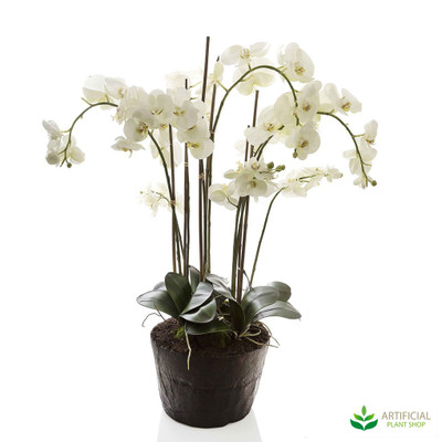 Large White Phal orchid in paper pot 1m