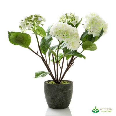 White Hydrangea in Pot