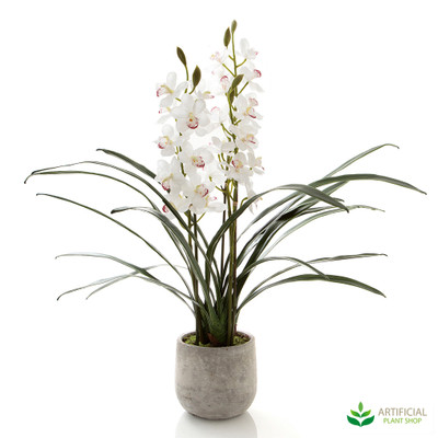 White Cymbidium Orchid in Pot