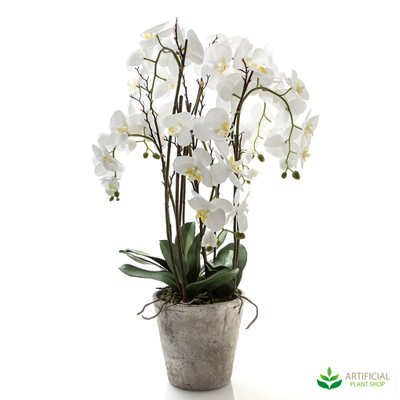 Large White Phal Orchid in Terracotta Pot