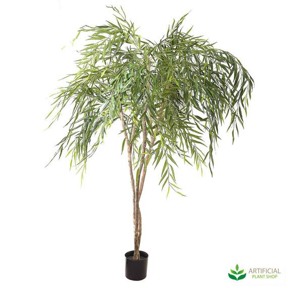 Chinese Willow Tree 1.8m