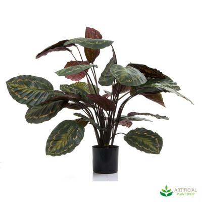 Calathea Fasciata Green/Red 65cm