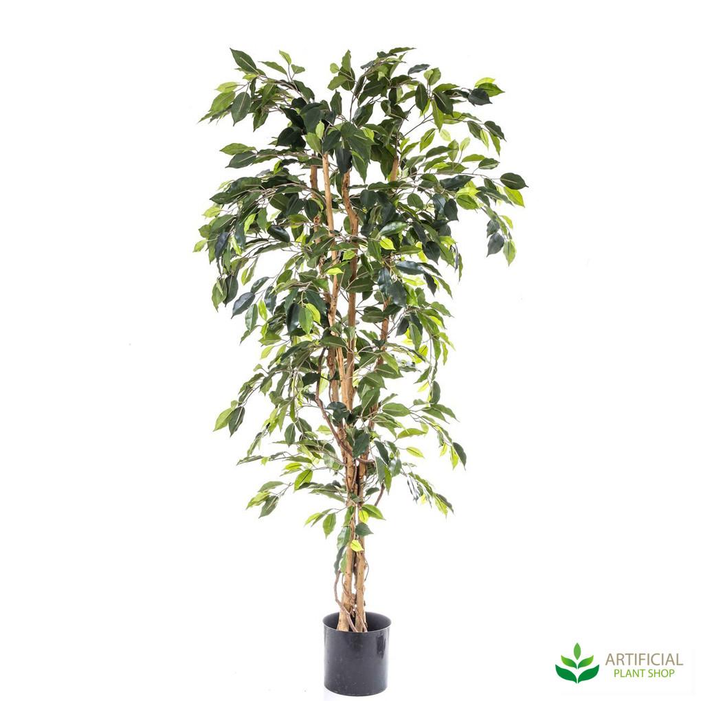 Ficus Tree 1.7m