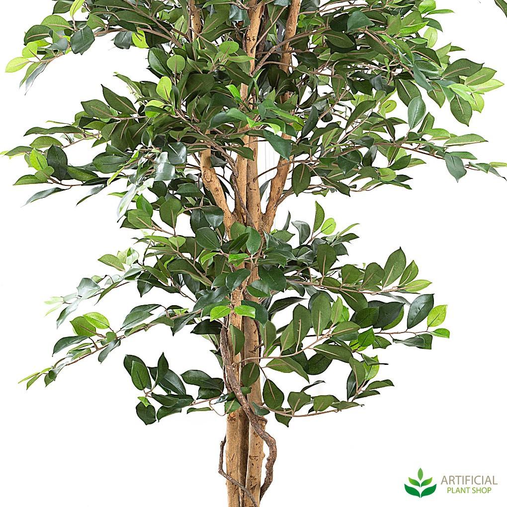 Ficus Trunk