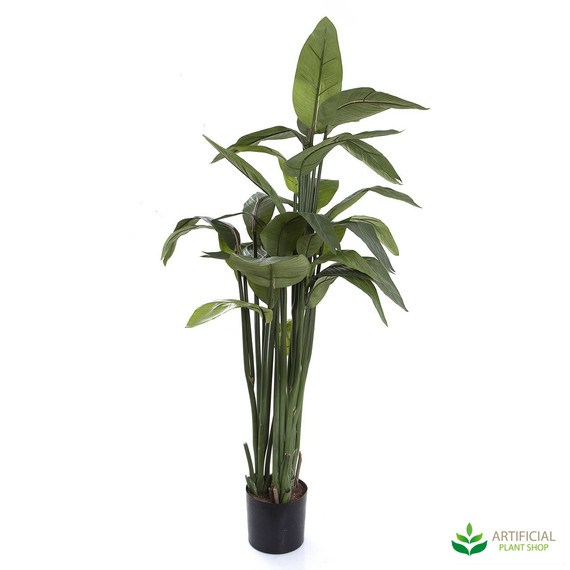 Strelitzia Bird of Paradise Plant