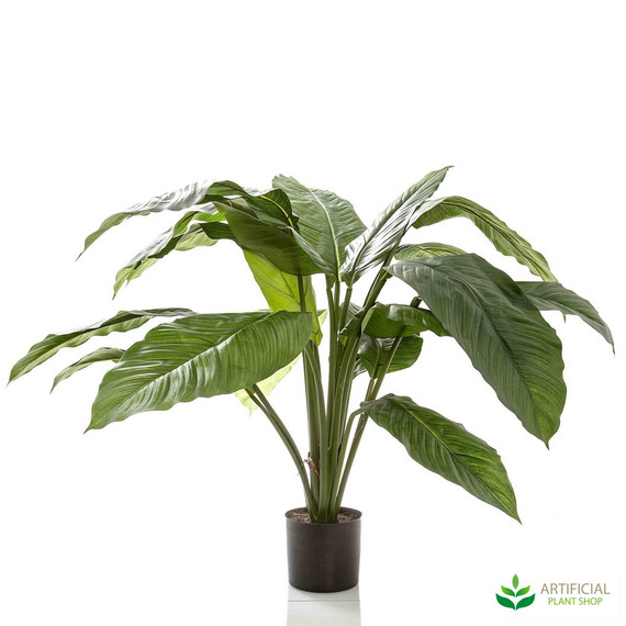 Spathiphyllum Potted 66cm