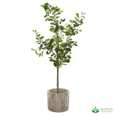 Ficus 1.5m in Woodland Pot