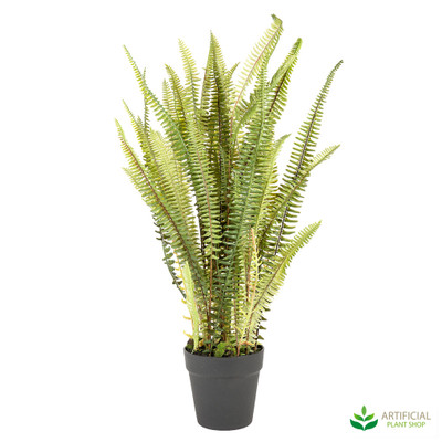 Mountain Fern in Pot 74cm