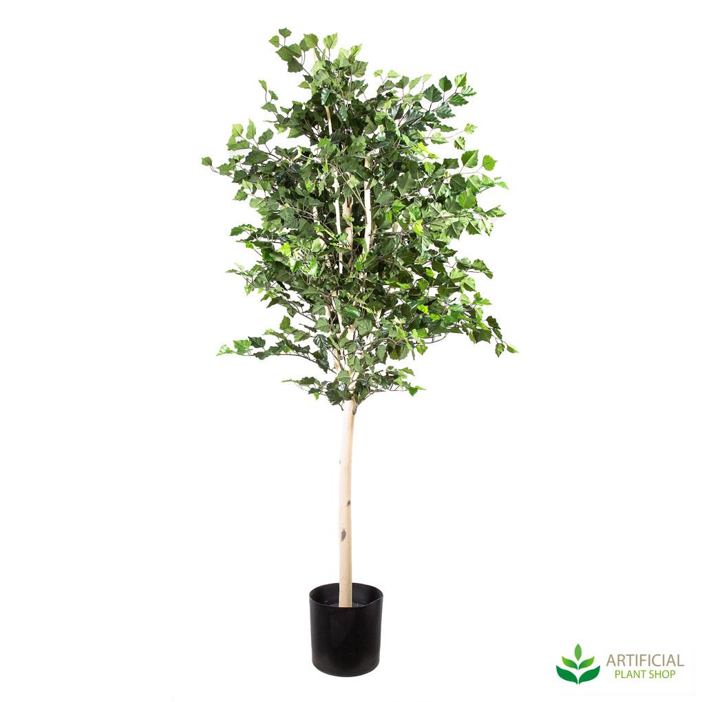 birch tree 1.5m
