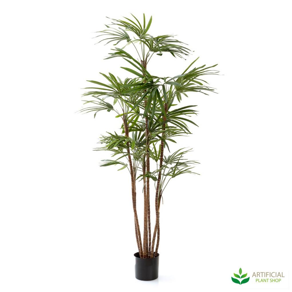 Honey Lady Palm tree 1.2m