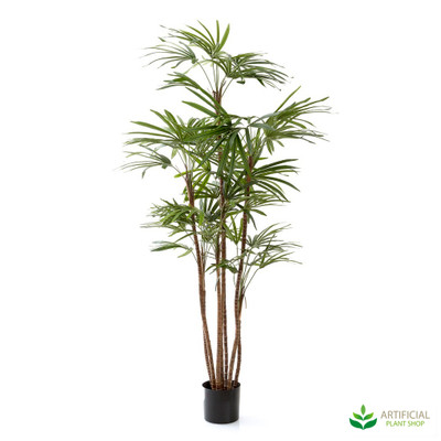 Honey Lady Palm tree 1.2m