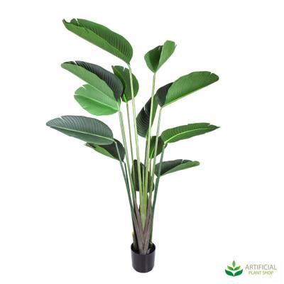 Bird of Paradise Plant 1.8m