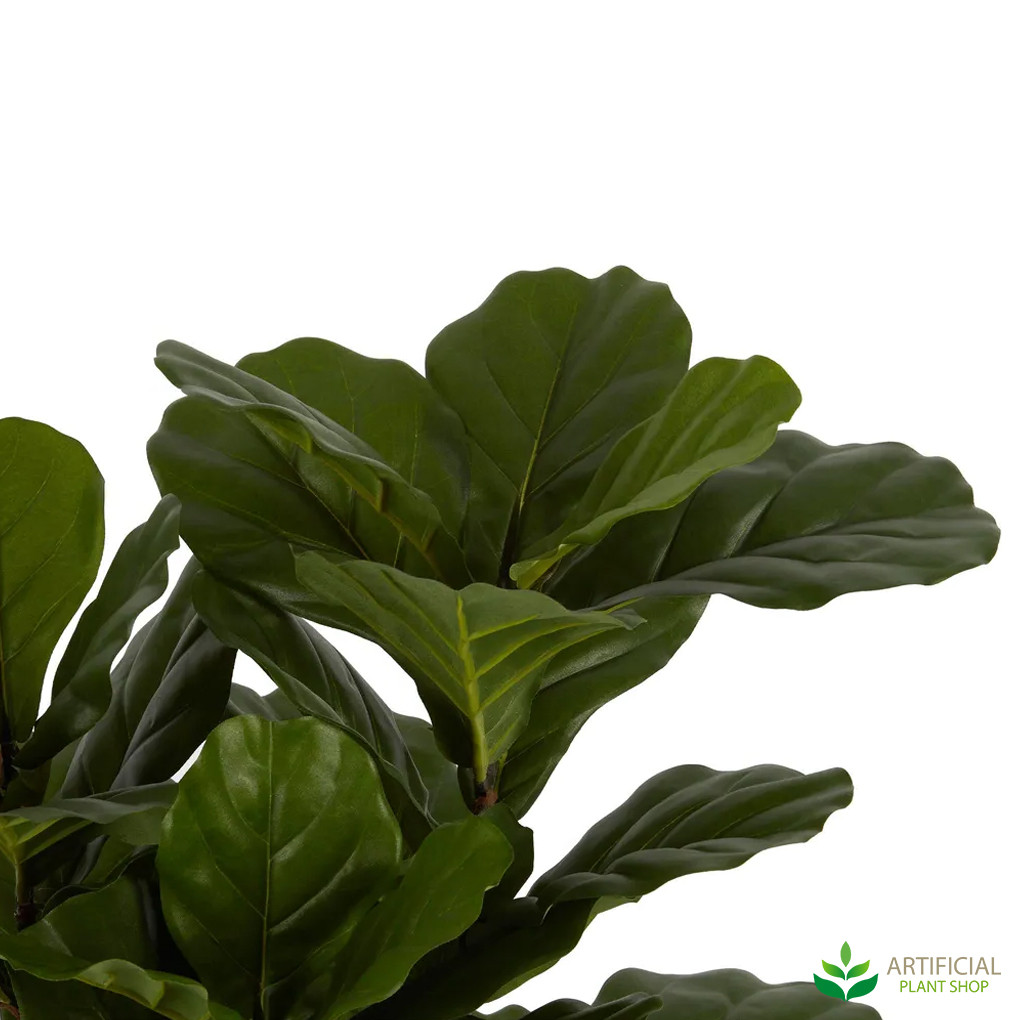 Fiddle leaf leaves