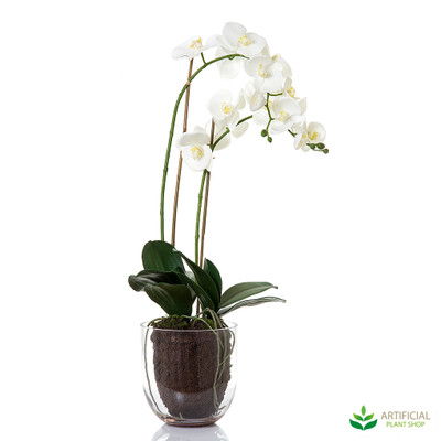 white orchid in glass vase 85cm