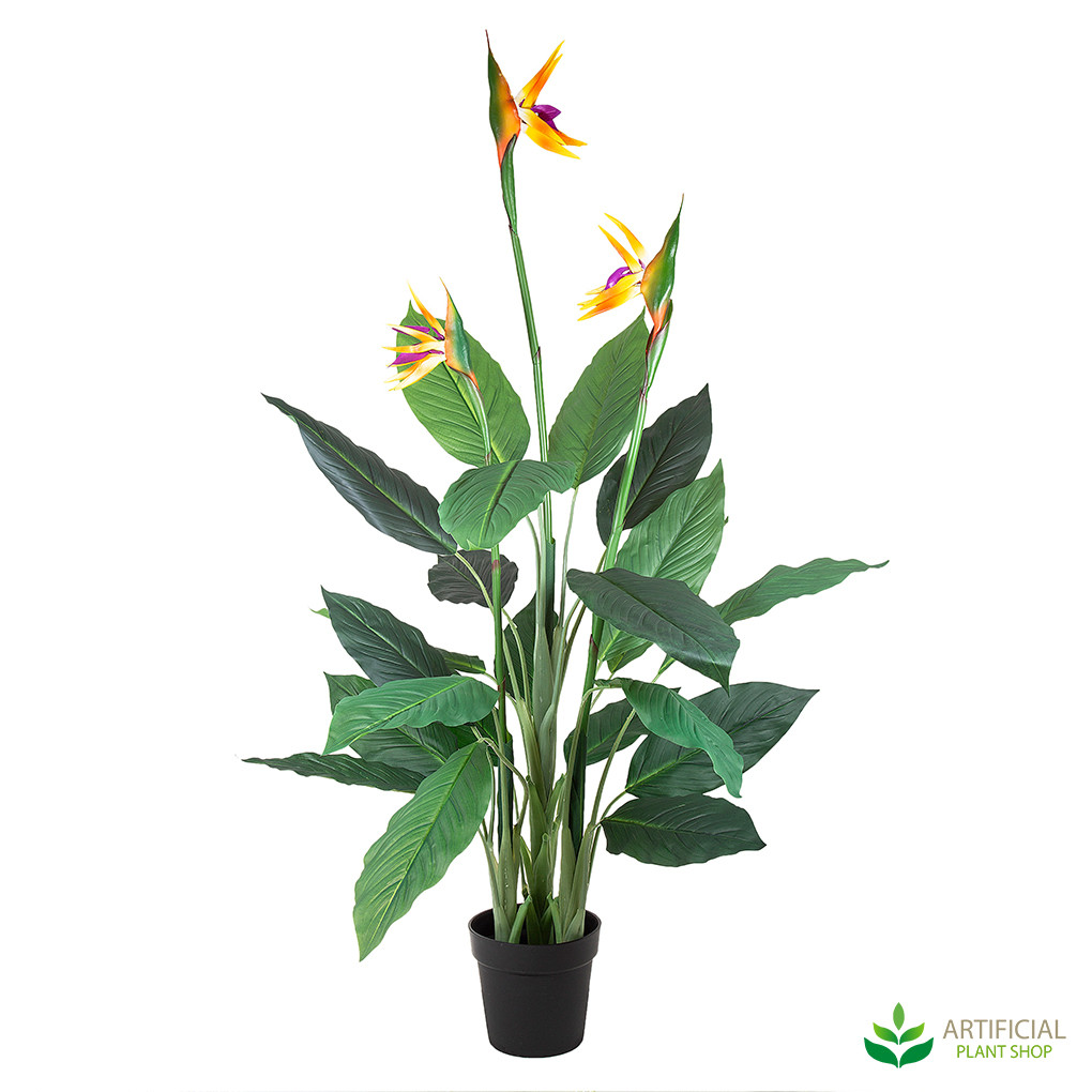 Bird Of Paradise Tree 1 5m