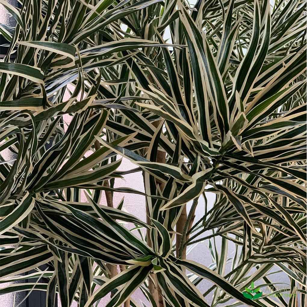 variegated dracena leaves