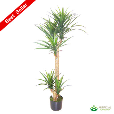 Yucca Tree in pot 1.5m