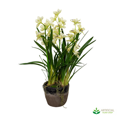 Cymbidium Orchid in Terra Pot 1.1m