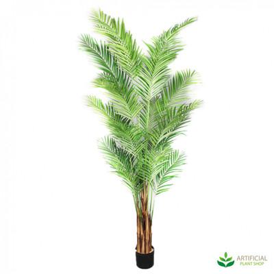Areca Palm 2.4m