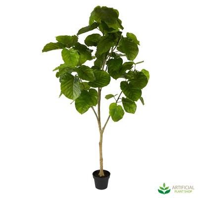 Ficus Umbrella Tree
