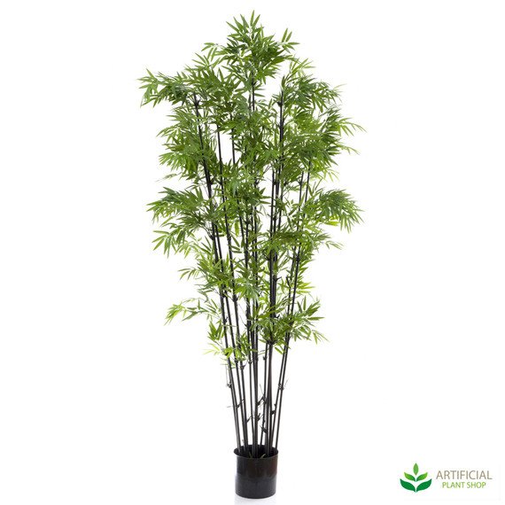 Japanese Bamboo 1.9m with black trunks