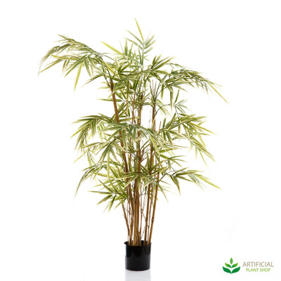 Royal Bamboo 1m (Natural Trunks)